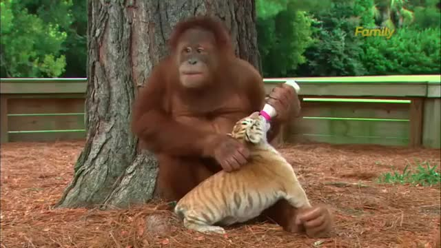Watch Orangutan plays with tiger cubs.MP4 GIF on Gfycat. Discover more related GIFs on Gfycat