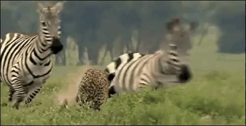 Watch and share Zebra Animated GIFs on Gfycat
