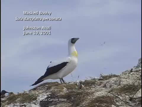 awwducational, Masked Booby at Johnston Atoll (reddit) GIFs