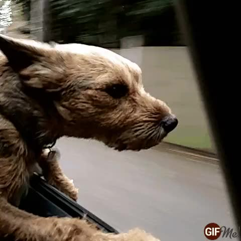 Watch Reggie loves a good ride in the car! GIF on Gfycat. Discover more car, car ride, dog, pooch, ride, travels GIFs on Gfycat