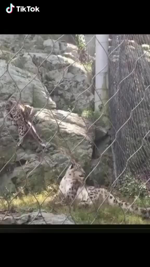 Watch and share Startled Leopard GIFs by interesting on Gfycat