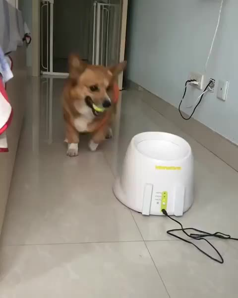 Watch and share Corgi GIFs and Dog GIFs by Boojibs on Gfycat