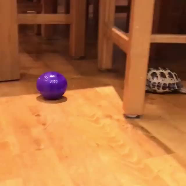 """Watch """"My pet tortoise thinks he's a dog"""" 😂😂  via Newsflare GIF on Gfycat. Discover more related GIFs on Gfycat"""