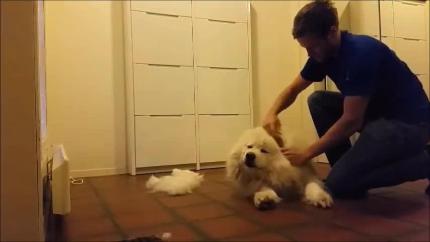aww, grooming, samoyed (dog breed), Grooming Samoyed GIFs