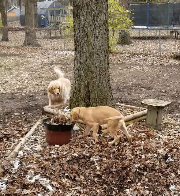 Watch goldens playing GIF on Gfycat. Discover more related GIFs on Gfycat