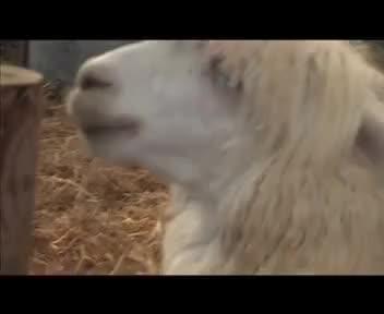 Watch alpaca GIF on Gfycat. Discover more fer GIFs on Gfycat
