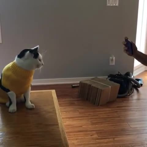 cat, cats, funny, Striking a pose GIFs