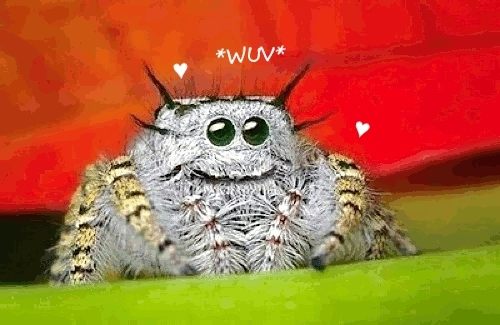 jumpingspider, tsunderespiders, wuv, He said I smelled perky! GIFs