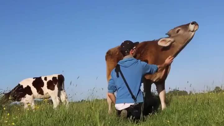 Happy cow enjoying some good neck rubs GIFs