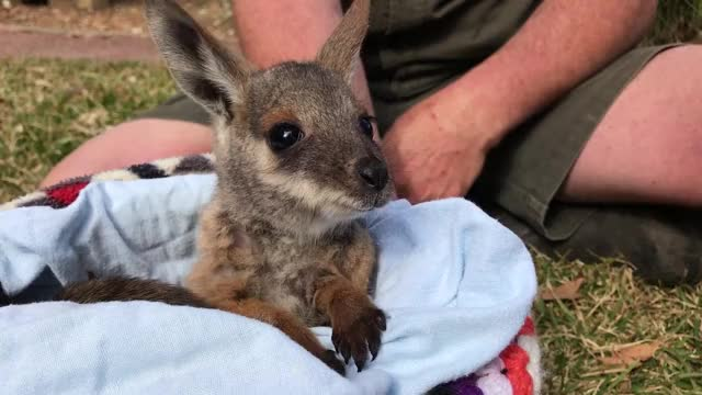 Watch Tilly The Yellow-footed rock-wallaby GIF by @likkaon on Gfycat. Discover more animals, australian reptile park, cute GIFs on Gfycat