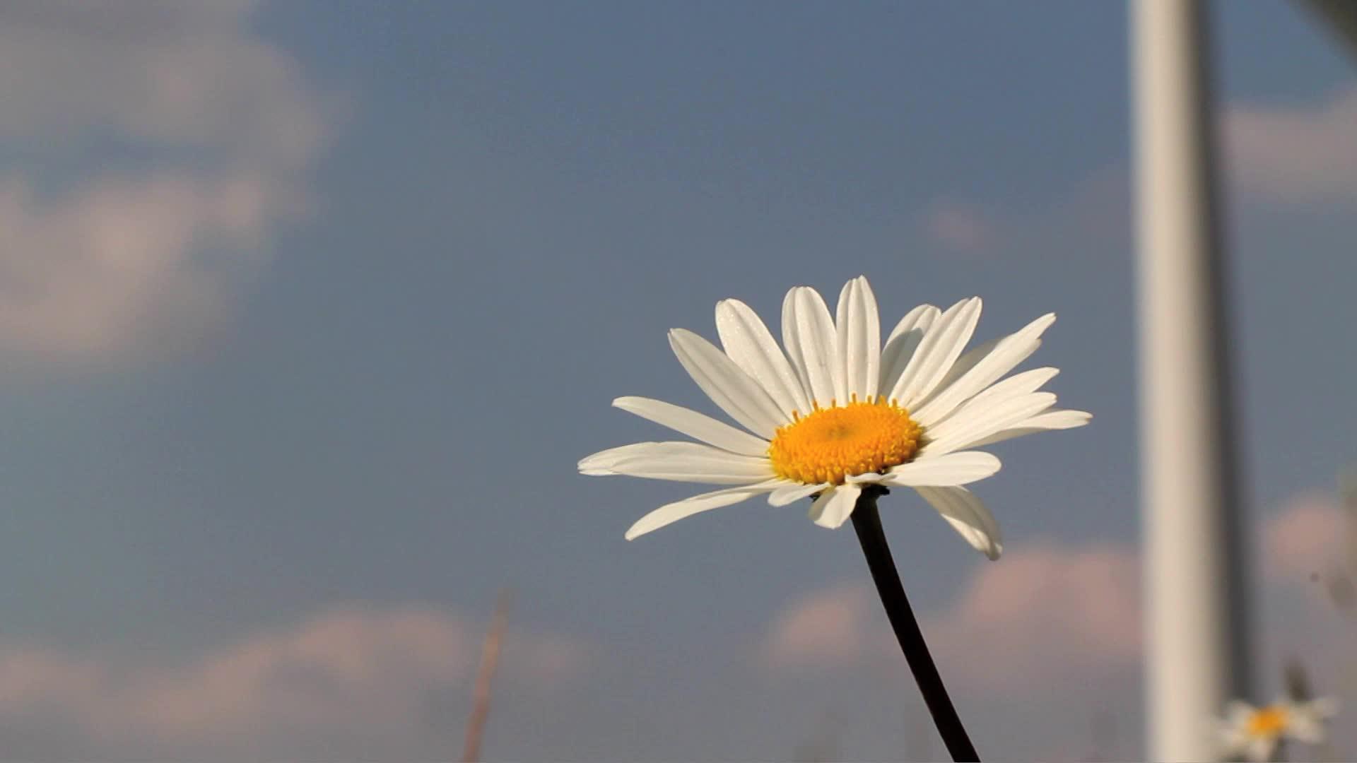 daisy, flower, flowers, Daisy with Wind Turbine -Stock Video GIFs