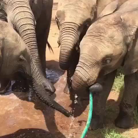 Watch clean water GIF by PM_ME_STEAM_K3YS (@pmmesteamk3ys) on Gfycat. Discover more DontLetThemDisappear, bekindtoelephants, elephantantics, elephants, elephantsarethebest, kenya, northernkenya, protectelephants, saveelephants, stoppoaching GIFs on Gfycat