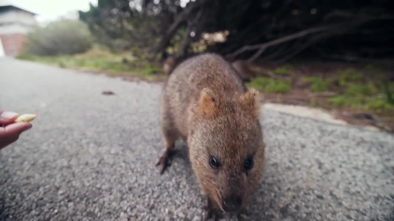 australia, perth travel, perth vlog, QUOKKA SELFIE!! - Perth Travel Vlog GIFs