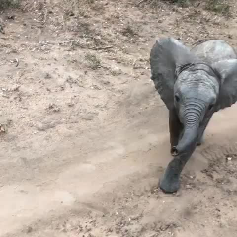 elephants, baby  elephant says hi before heading off with its family GIFs