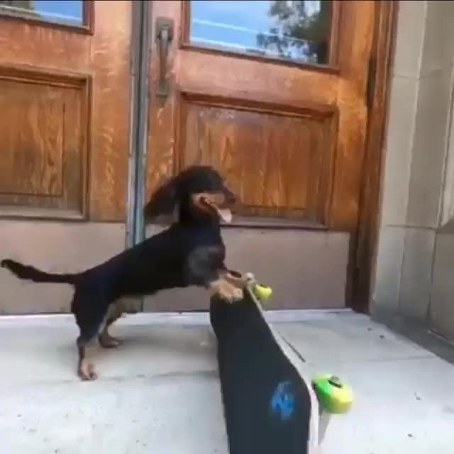 rowdy dachshund GIFs
