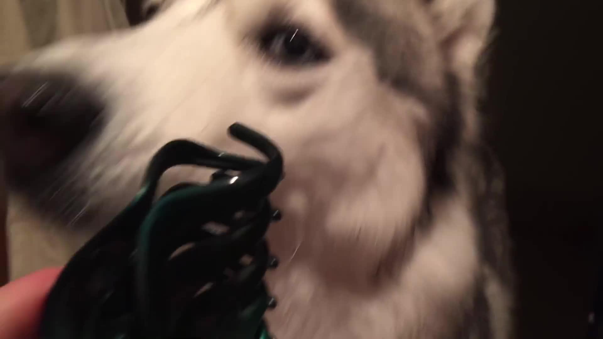 Entertainment, Husky, Siberian, Husky vs. Hair Clip GIFs
