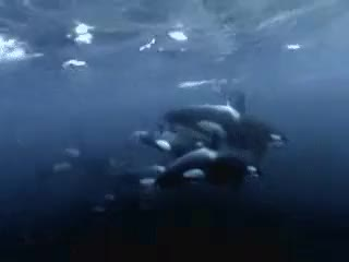 Watch this killer whale GIF on Gfycat. Discover more animated, family, free, gif, killer whale, killerwhales, mammal, ocean, orca, orcas, pod, sea, whale, whales GIFs on Gfycat
