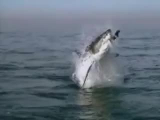 Watch and share Shark Attack GIFs on Gfycat