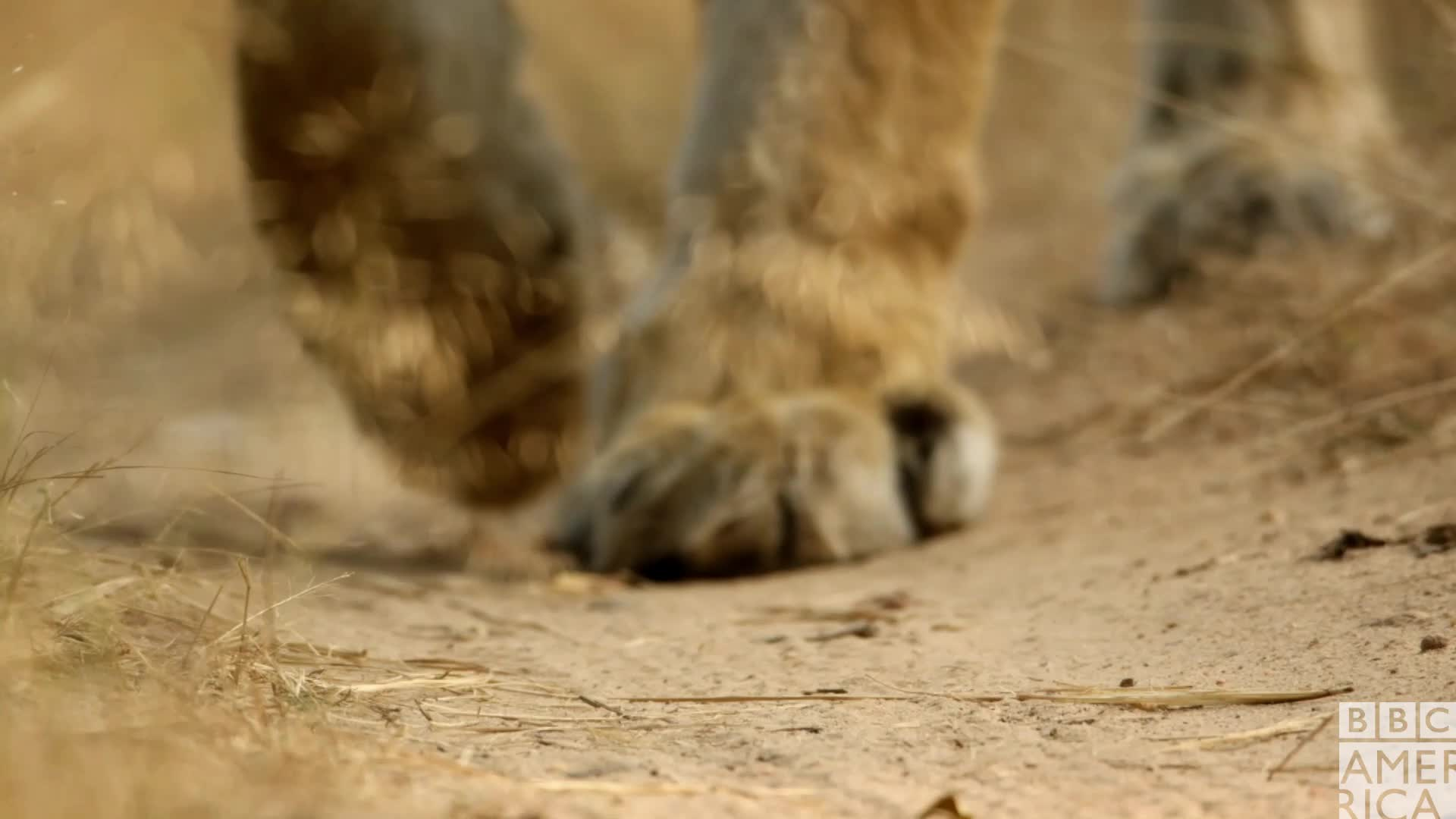 animal, animals, awww, bbc america, bbc america dynasties, bbc america: dynasties, cute, dynasties, tiger, tigers, Dynasties Tiger Paws GIFs