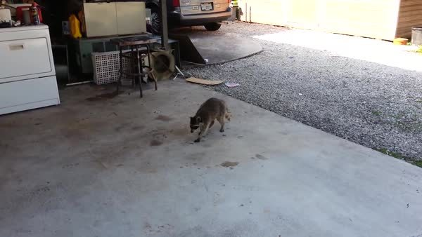 LilGrabbies, awwgifs, I think I found a gif of the raccoon video that Freckles mentions on his