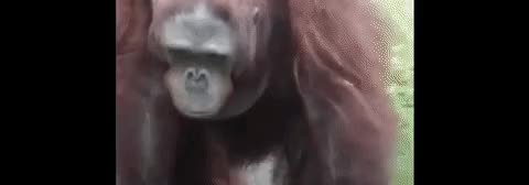 Watch Orangutan rescues drowning bird GIF on Gfycat. Discover more related GIFs on Gfycat