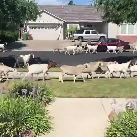funny, animals, There goats the neighborhood GIFs