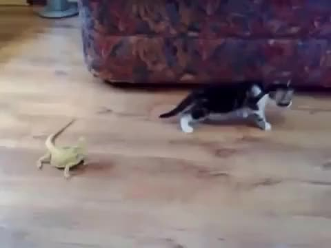 Watch and share Cat Vs. Iguana GIFs by hoaas on Gfycat
