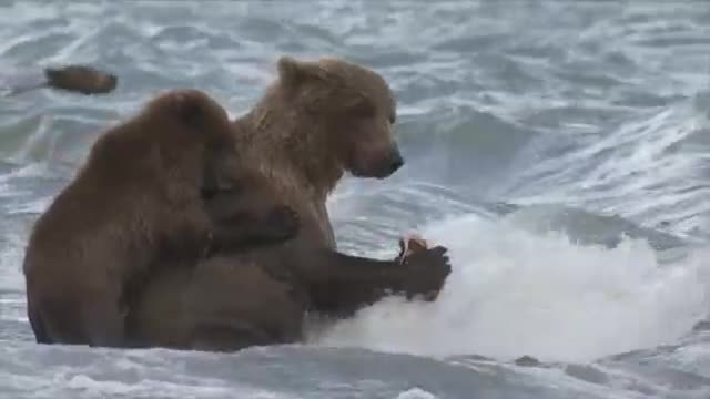bearcubgifs, Mum I want your salmon, share your salmon Mum, aww don't be like that Mum (reddit) GIFs