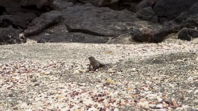 Watch and share Iguana GIFs by jgtrosh on Gfycat