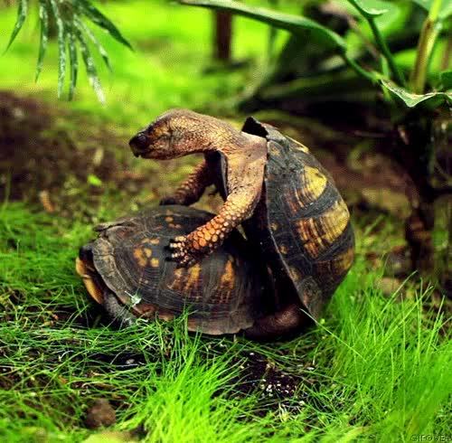 Watch and share |  |  - Gif - Tortoise - Turtle - Mating - Sex - Breathing - Reptile - Shell - Bio - Science - GIFs on Gfycat