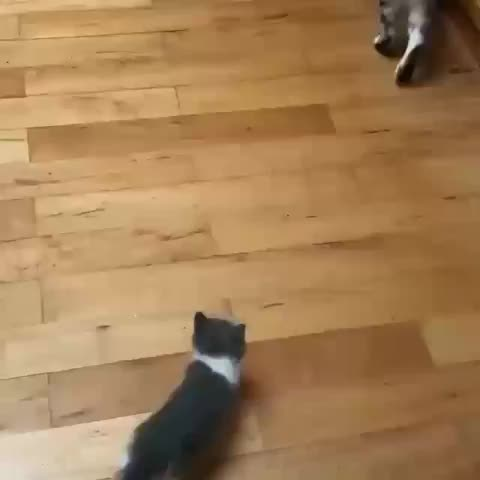 awwwww, cat, kitten, Ambitious kitten attack GIFs
