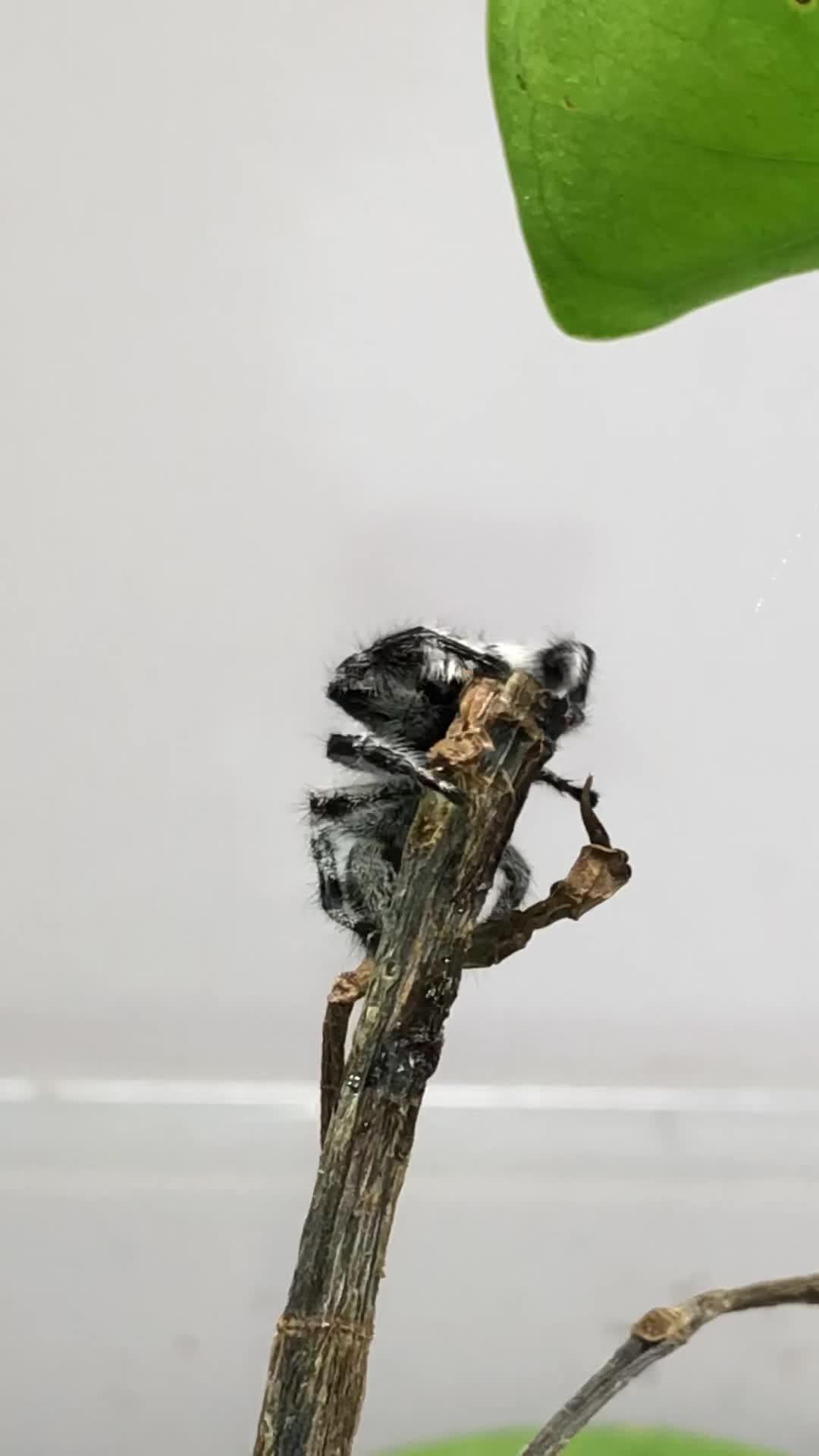 Adorable, InsecthausTV, Jumping spider, Pets & Animals, Phidippus regius, Phidippus regius Female, Regal Jumping Spider, aww, cute, spider, spiderbro, A Regal Jumping Spider GIFs