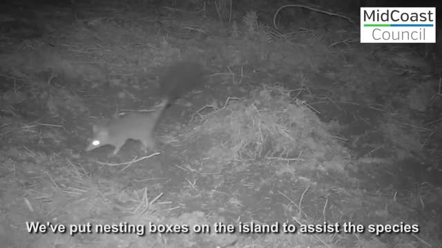 Watch and share Brush Tailed Phascogale GIFs by likkaon on Gfycat