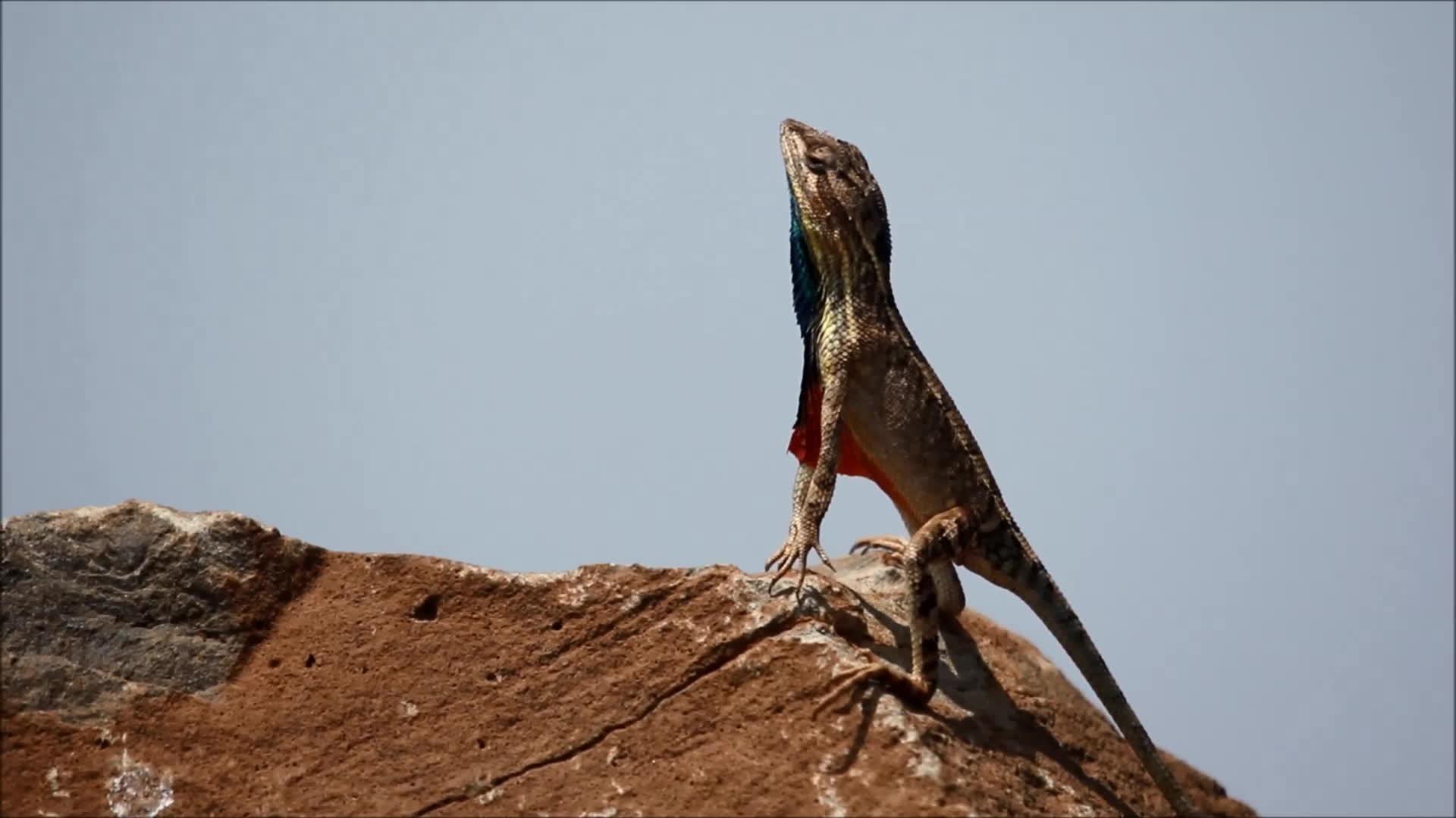 NatureGifs, fan Throated lizard  (Sitana ponticeriana) GIFs