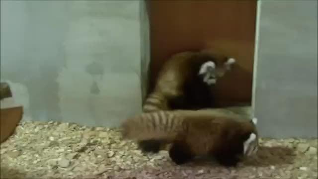aww, hitmanimals, 赤ちゃんレッサーパンダのパンダアタック Panda Attack by baby Red panda. (reddit) GIFs