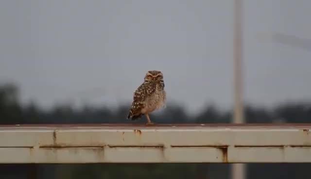 Lechucita Vizcachera | Observando aves | Oberá Mnes [HD] 1080p GIFs