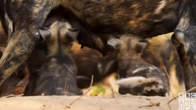 Dynasties Thirsty Wolf Pups