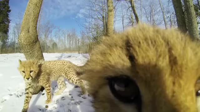 Watch and share Cheetah Babies GIFs and Cute GIFs by likkaon on Gfycat