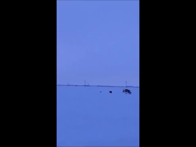 Watch and share Wolverine Killing A Caribou In Prudhoe Bay, Alaska GIFs on Gfycat