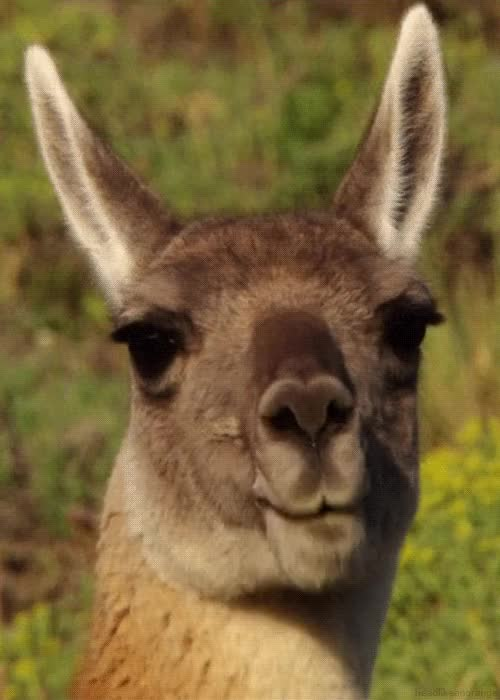 Watch this llama GIF by Streamlabs (@streamlabs-upload) on Gfycat. Discover more llama, llamas GIFs on Gfycat