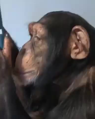 animal, chimpanzees, chimpanzees remembers old memories by mobile, Chimpanzees remembers old memories by mobile GIFs