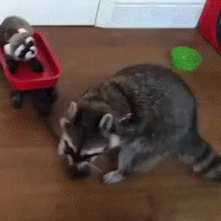 Watch this racoon GIF by Streamlabs (@streamlabs-upload) on Gfycat. Discover more related GIFs on Gfycat