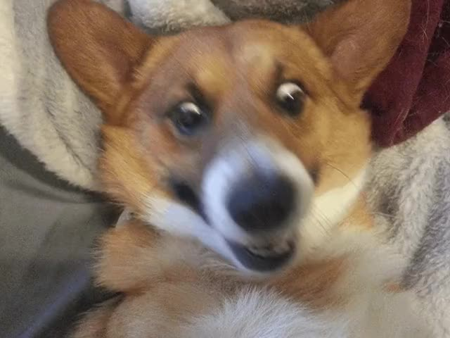 Watch CORGI INTENSIFIES. (i..com) GIF on Gfycat. Discover more related GIFs on Gfycat