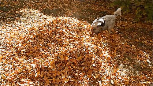 autumn, dog, fall, leaf, leaves, Leaves GIFs
