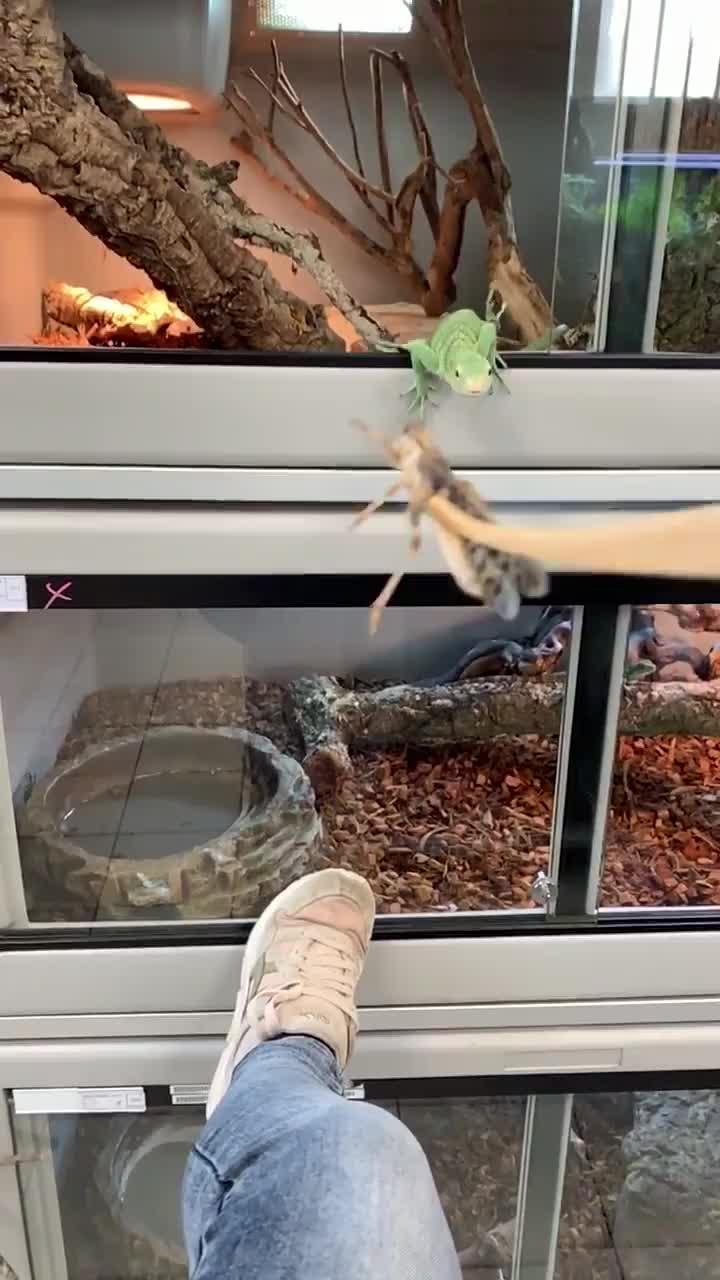 Bebesaurus, lizard, Time to eat GIFs