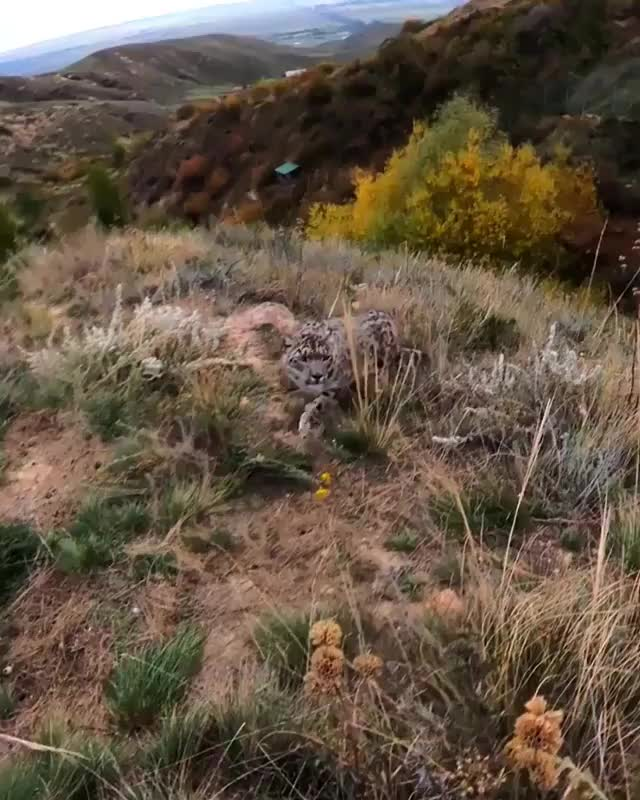 Watch and share Snow Leopard GIFs by mossberg91 on Gfycat