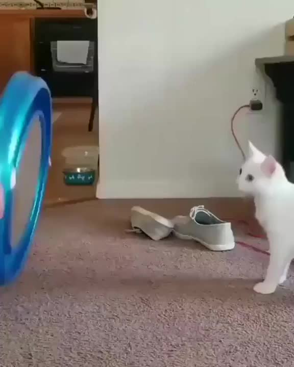 Watch and share Dizzy Cat GIFs by Imtiaz Ahmed on Gfycat
