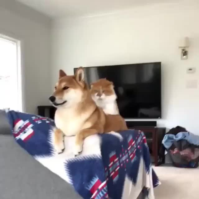 Watch /r/shibes - video by bethanyevon GIF by @cakejerry on Gfycat. Discover more related GIFs on Gfycat