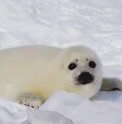 Watch Seal GIF on Gfycat. Discover more animals, baby seal, because sometimes you just have to make gifsets of baby seals, cute, gif, it's like a thing, mygifs, seal, sealgif GIFs on Gfycat