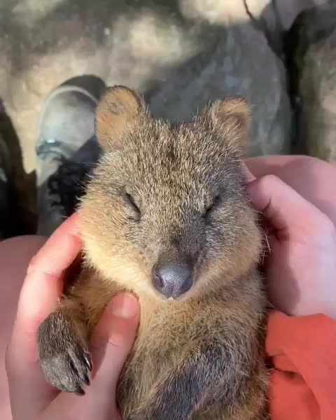 Watch and share Quokka GIFs and Awww GIFs on Gfycat